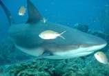 A Reef Shark in the Pacific Abyss