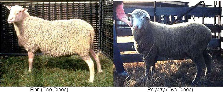 Finn and Polypay - Ewe Breeds
