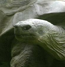 Harriet the turtle had been the star attraction at the Australia Zoo.