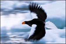 Pygargue de Steller (Haliaeetus pelagicus)