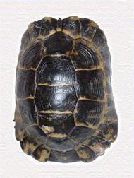 graeca anamurensis