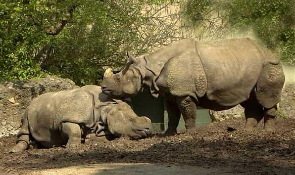 Femelle rhinoceros indien et son bébé
