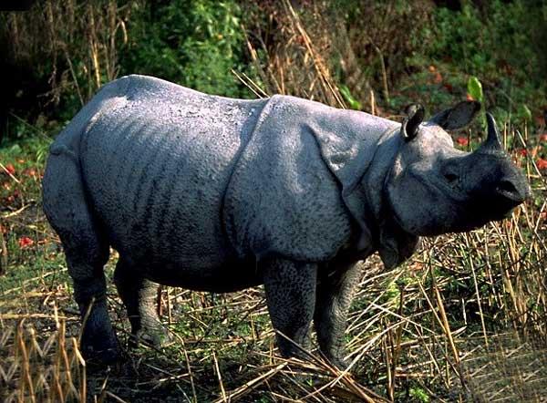 Rhinoceros indien
