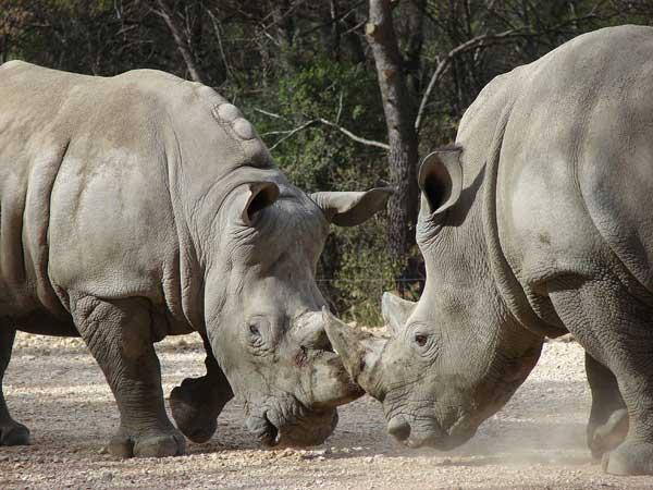 Deux rhinocéros testent leur force