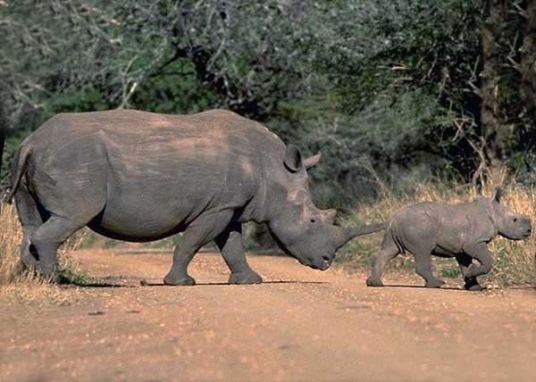 Femelle rhinocéros et son bébé