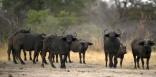 ZAMBIE. 52 buffles tués dans une bousculade