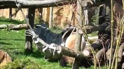 Kung Fu Panda... en vrai !