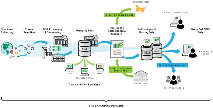 The Barcoding Pipeline