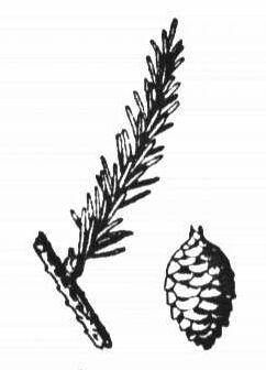 Branche et cône de l'épinette noire