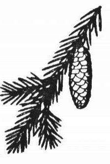 Branche et cône de l'épinette blanche