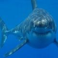 Le gros gros appétit du requin blanc