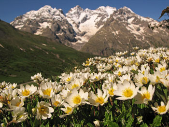 Dryas - plante alpine