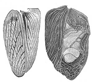drawing of female and male cricket wings