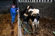 Une vétérinaire auscultant une vache à Malville (Loire-Atlantique), le 16 février 2021.