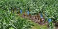 Plantation de bananes en Côte d'Ivoire
