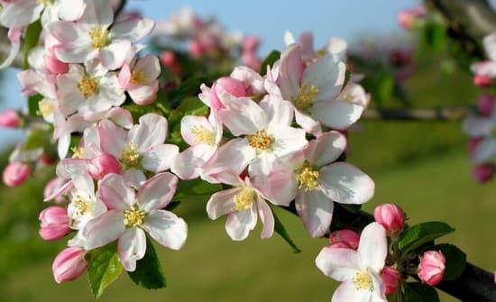 Branche de pommier en fleurs