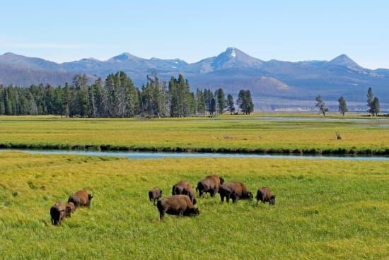 Bisons d'Amérique à Yellowstone.