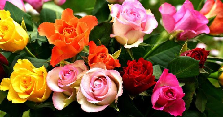 La signification des roses en fonction de leur couleur