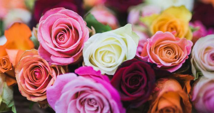 Les roses : caractéristiques, signification, origines et soins