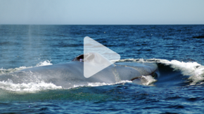 whale surfacing out of the water with play arrow overlay