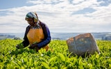 A woman picks leaves in Kericho, Kenya. The region is suffering from unpredictable weather