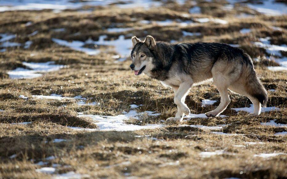 Comme l'an passé, 40 loups pourront être prélevés pour limiter les dégâts sur les troupeaux (Illustration)